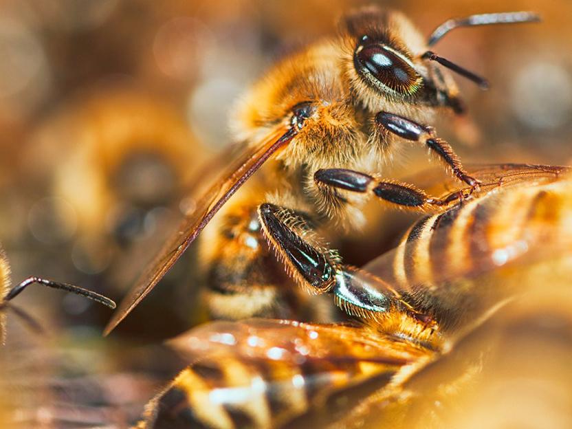 Detail shot of a honeybee.