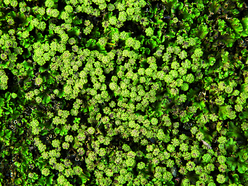 Detail shot of liverwort.