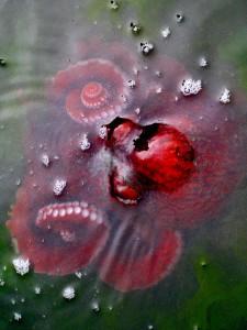 Photograph of an octopus from Emma Teal Laukitis '13