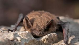 brown bat