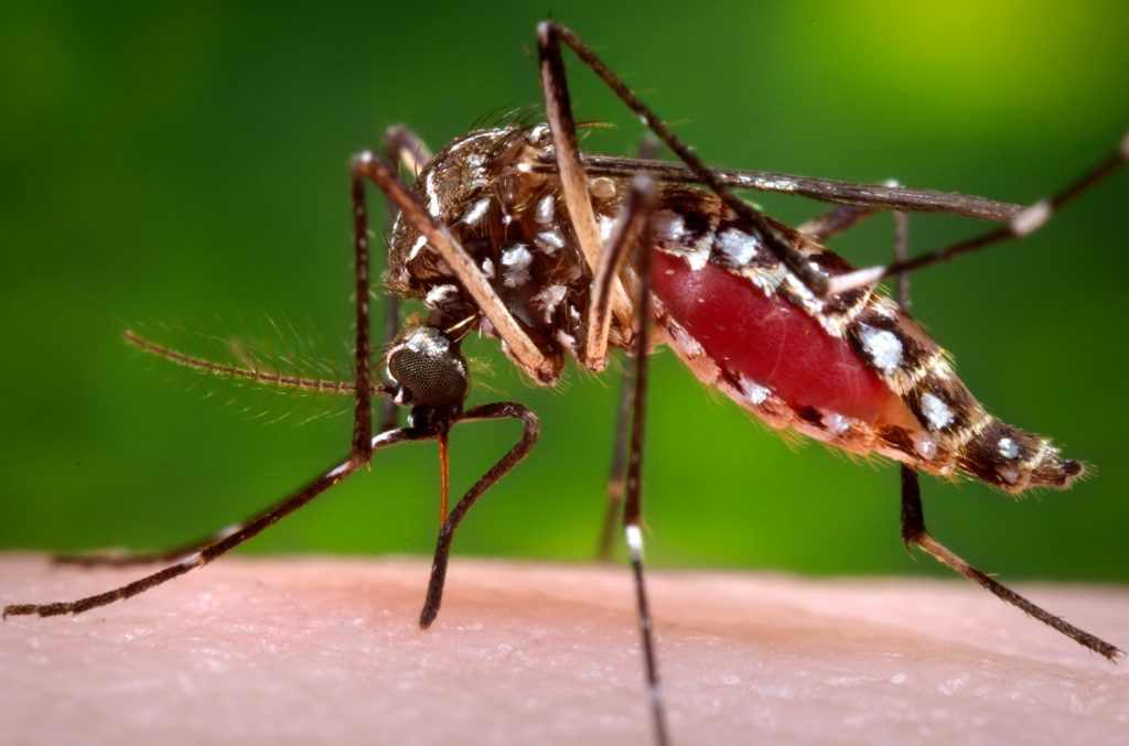 Photo of a mosquito provided by CDC Global
