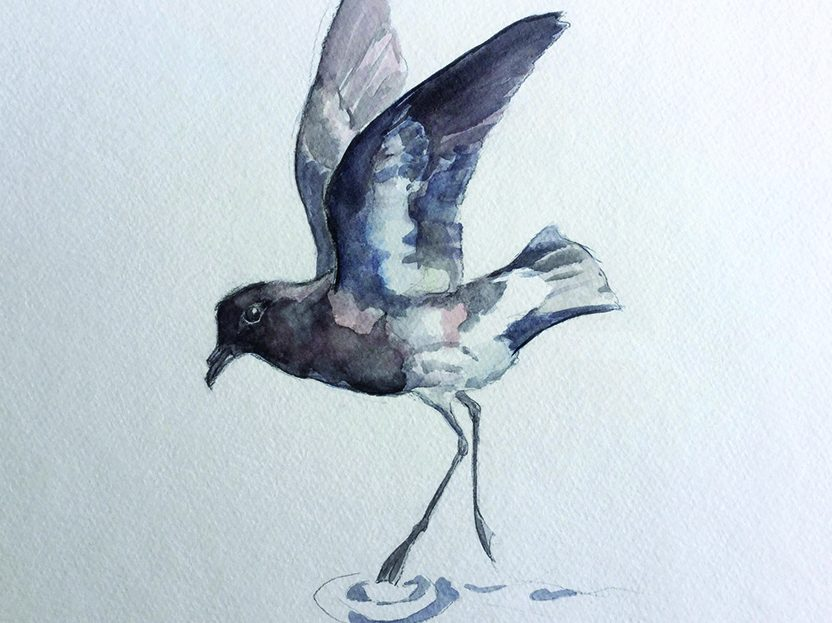A water color sketch showing a New Zealand storm-petrel skimming the water, its wings up. The bird is shades of gray.